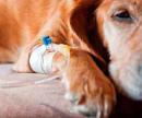 Катетер для собак (катетеризация мочевого пузыря) цена