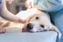 Санация перианальных синусов у собак, цена