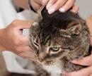 Клещ у кошки, лечение (снятие клеща) цена