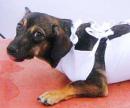Обработка швов собаке цена