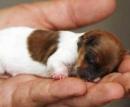 Пятый палец у собак (Ампутация рудиментарных пальцев щенкам возраст до 7 дней, без обездвиживания) цена