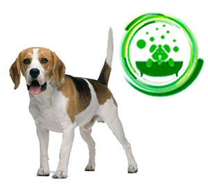 beagle-8.jpg