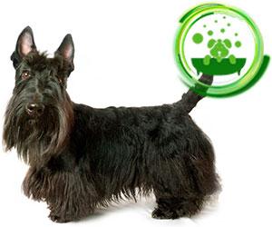 scottish-terrier.jpg
