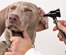 Клещ у собаки, лечение (снятие клеща) цена